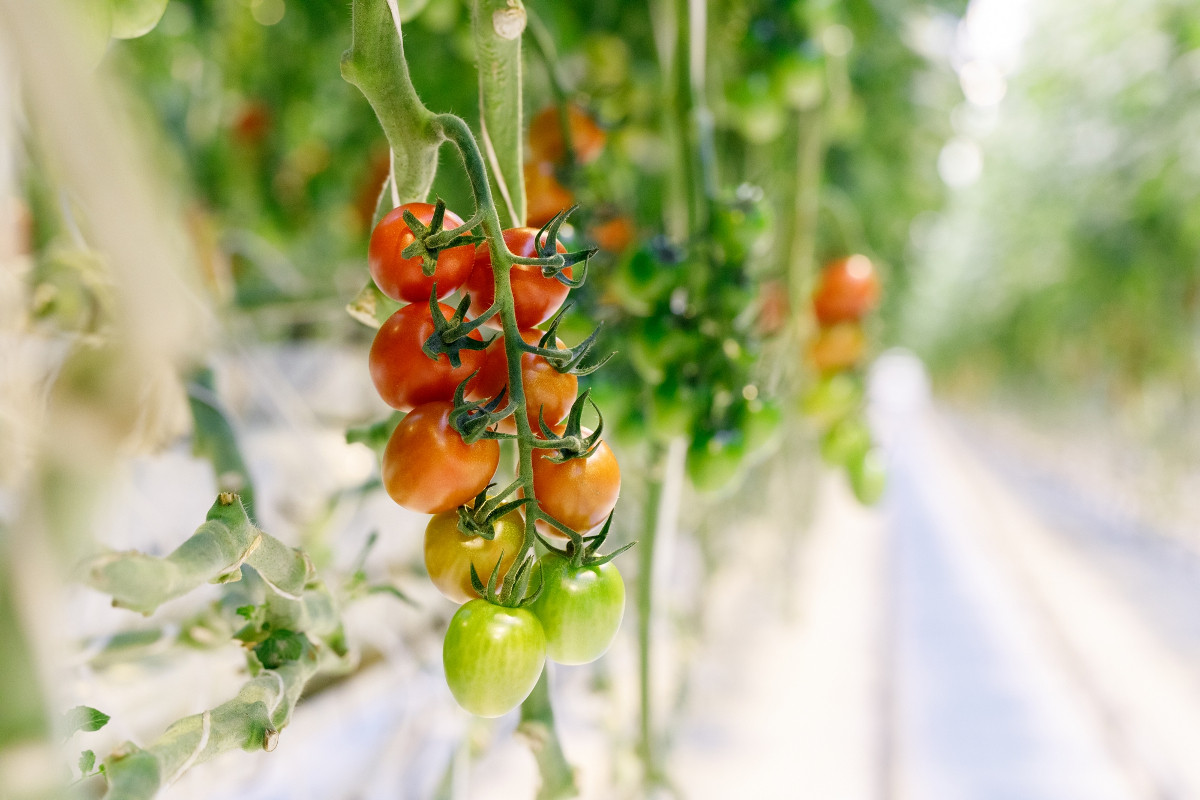 Russian agrarians against the abolition of the Turkish tomato import quotas