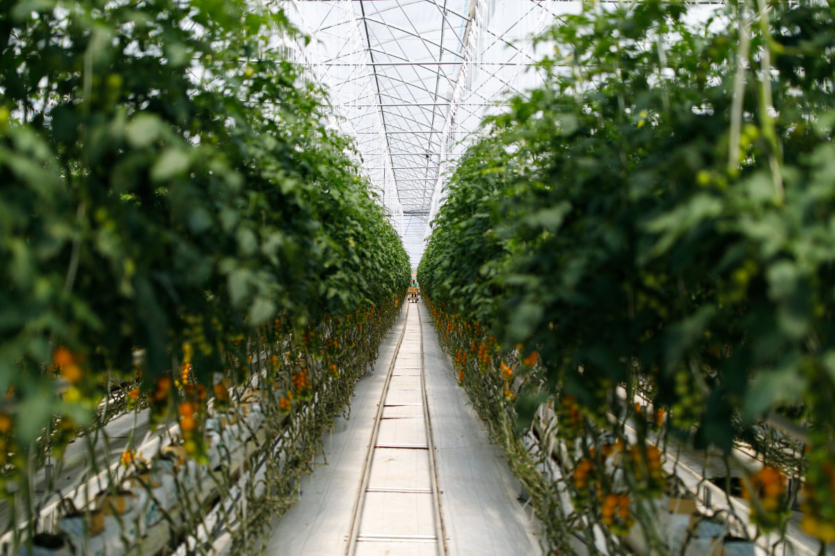 A record yield of greenhouse vegetables is harvested in the Lipetsk Oblast